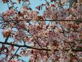 仁伏の桜 満開