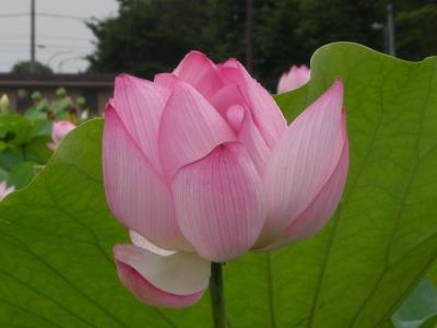 hasuniohana4.jpg