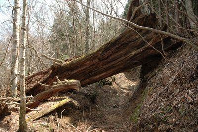 道をふさぐ大木