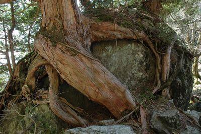岩にしがみつく木