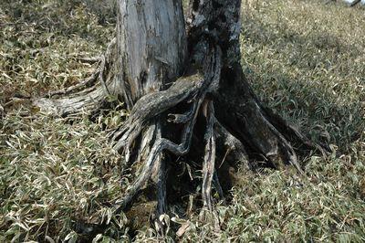 根っこが抱きついているラブラブの木
