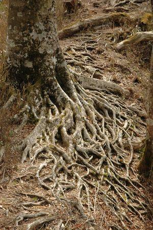 血管のような木の根