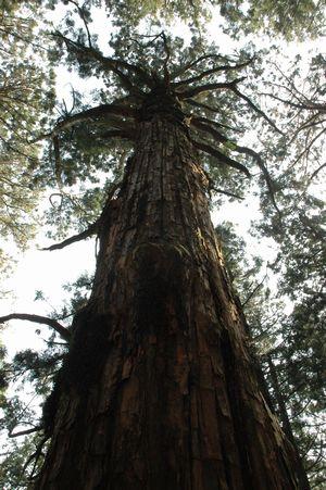 玉置神社手前にある巨木