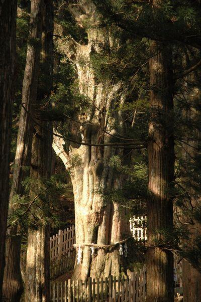 樹齢3000年!神代杉