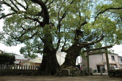 浜の宮大神社の巨木