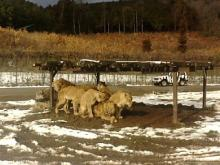 がくちょうのたわごと ~熊野吹奏楽団~-ライオン