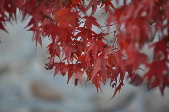 がくちょうのたわごと ~熊野吹奏楽団~-宮島の紅葉