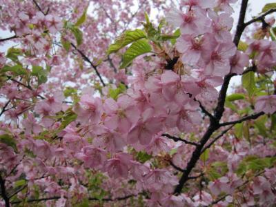 飯山桜まつりの日の川沿いで