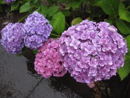 紫陽花、雨に濡れる