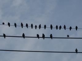 むくどりかな。電線に大群がとまっていた。