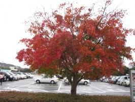 荻野運動公園の真っ赤な秋です