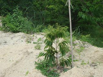 順調な栗の苗木