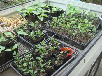 野菜の苗の植え付け