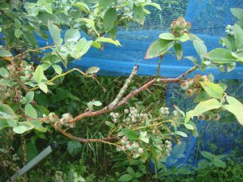 枝みたいなしゃくとりムシ