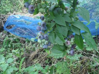 ブルーベリー収穫始まる