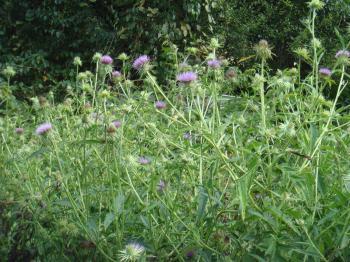 モリアザミの花