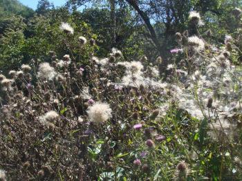 山ゴボウの綿毛