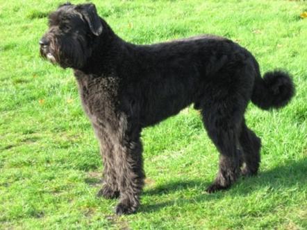 パトラッシュ犬種
