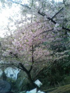 静岡桜2011-2