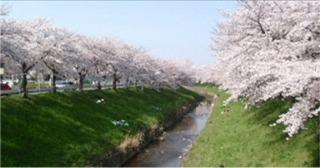 奈良の桜 2