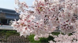 奈良の桜 1