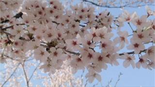 奈良の桜 3