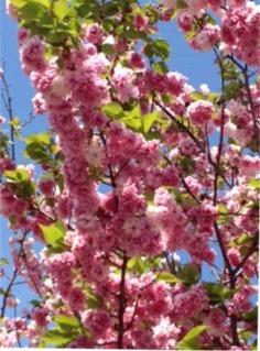 造幣局の桜③