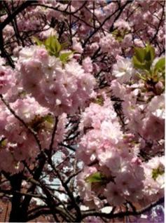 造幣局の桜②