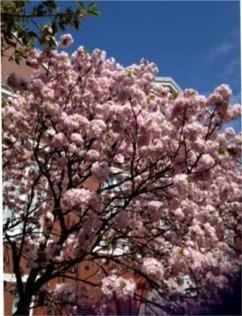 造幣局の桜①