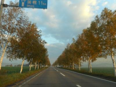美幌の白樺街路樹
