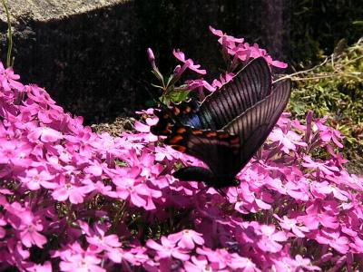 蝶とシバザクラ