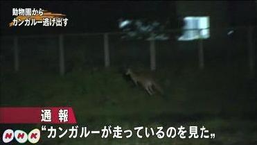 移動動物園のカンガルー逃走 NHK