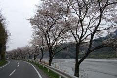 帯金~八木沢間桜並木02