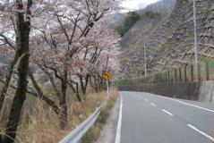 帯金~八木沢間桜並木01