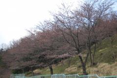 桜の園01