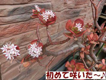 カネノナルキのお花だよ~!