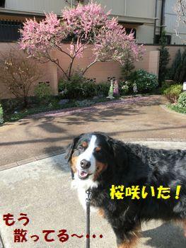 お庭の桜だよっ!