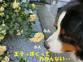 薔薇と僕って似合うの??