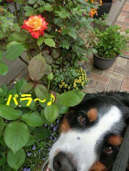 薔薇だよ~ん♪