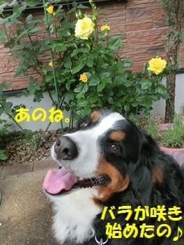 黄色い薔薇!