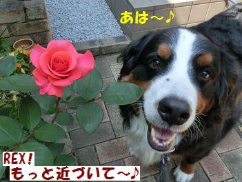 このバラって何色?