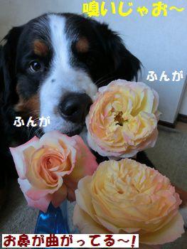 バラをよ~く嗅ぐの!!
