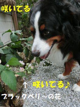 お花咲いてる~!ブラックベリ~!!