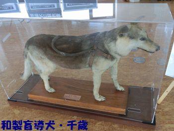 盲導犬千歳。