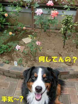 ささやかな薔薇撮ってんの?