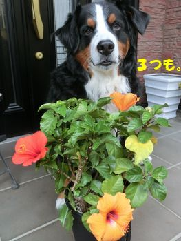 3つ咲いてるの。