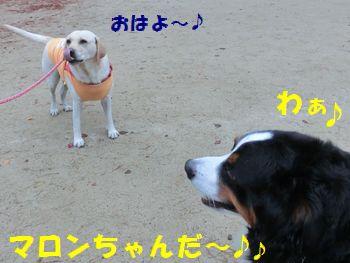 マロンちゃん~!!雨でもお散歩!?