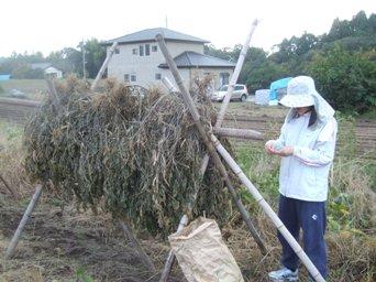 121028小豆収穫