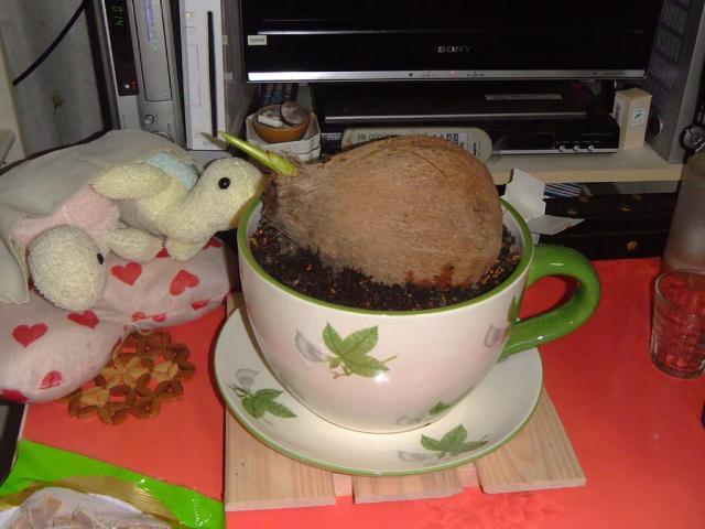 ココヤシを植えたよ1
