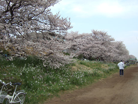 多摩川の桜